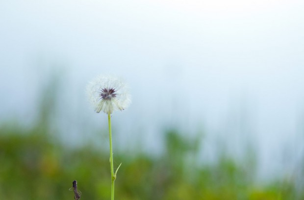 Summer of 2012 – Dandelion