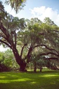Stream-of-consciousness - meditation on trees at Fair Oaks - 4